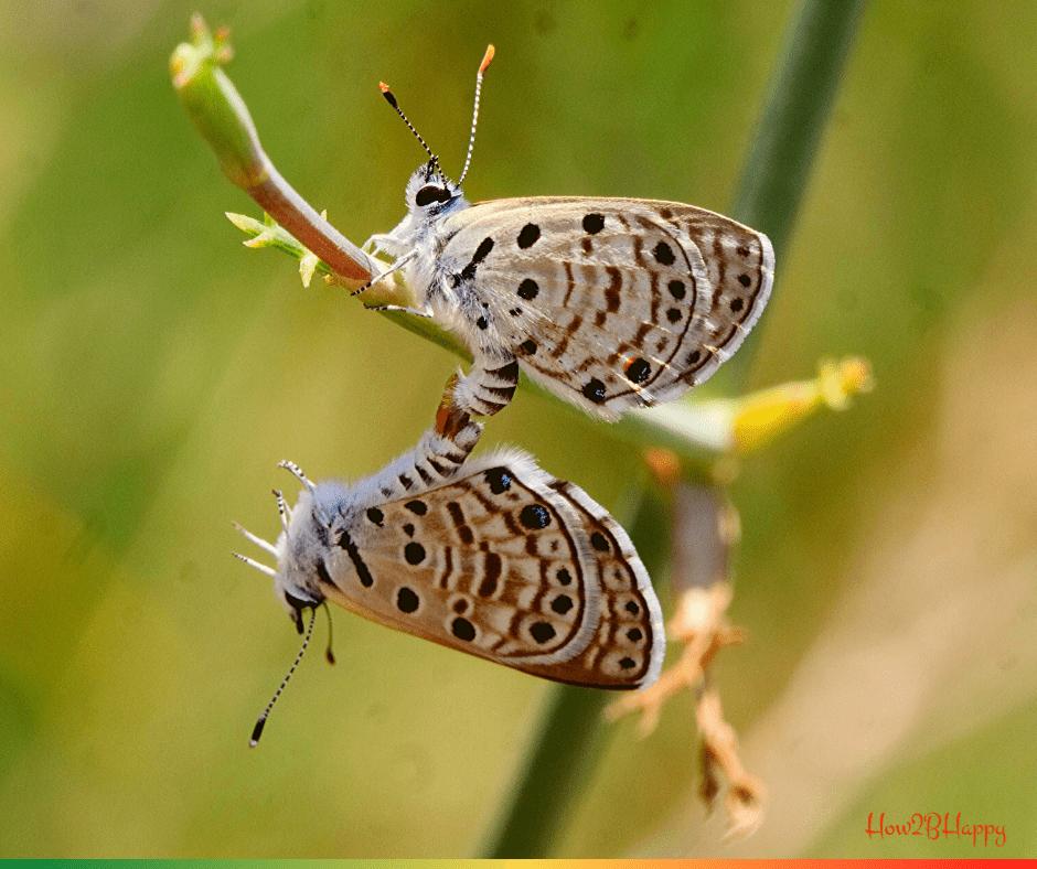 two butterflies in love