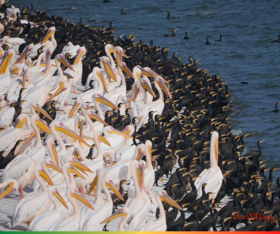 groups of pelicans and of cormorants